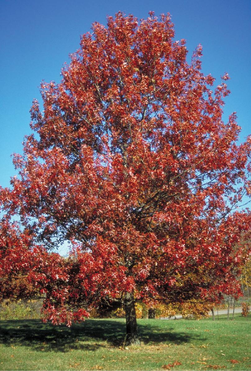 oak  scarlet
