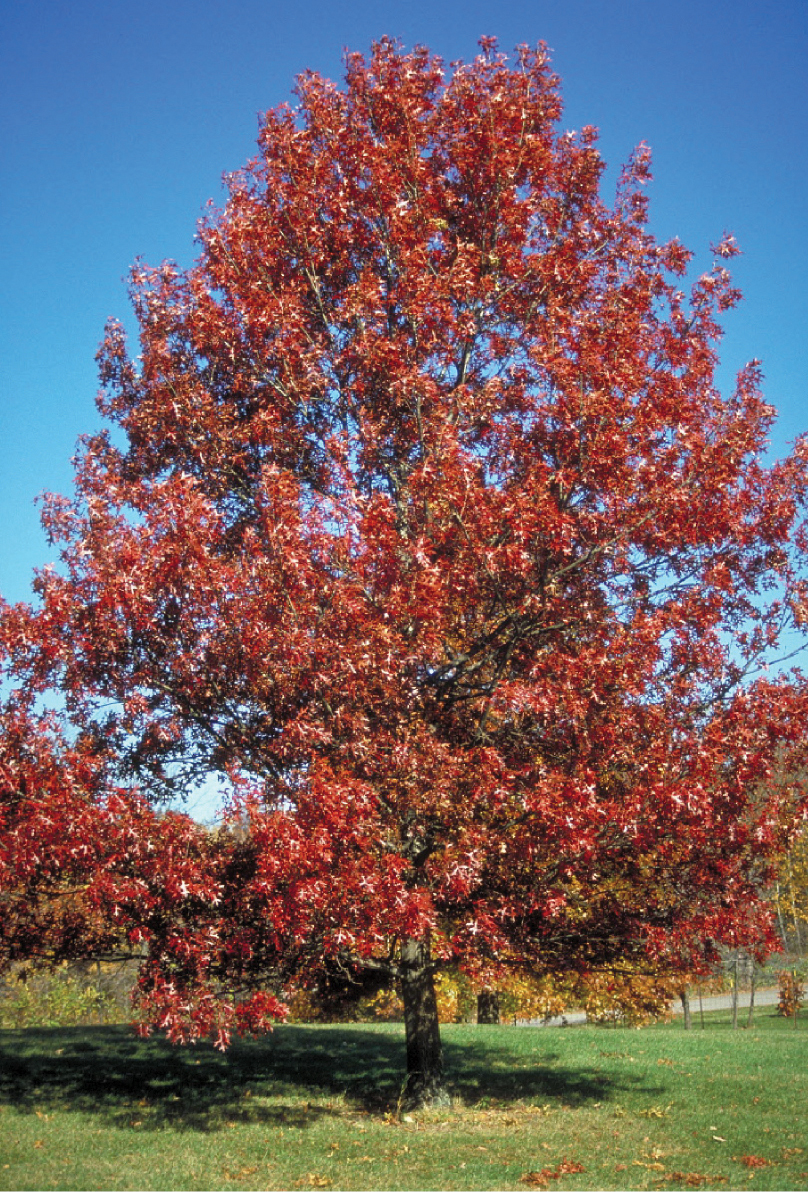 Oak Scarlet Nursery Landscape Trees
