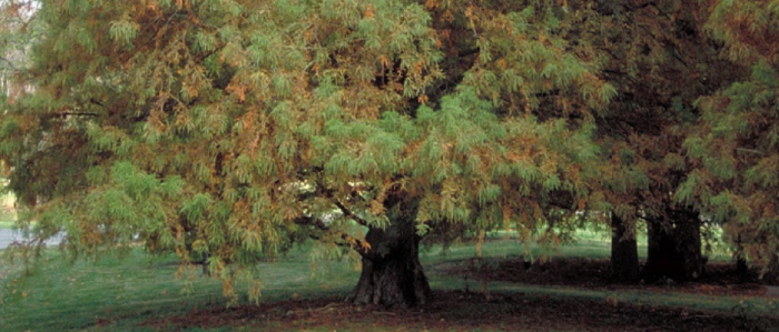 Baldcypress tree with low-spreading limbs