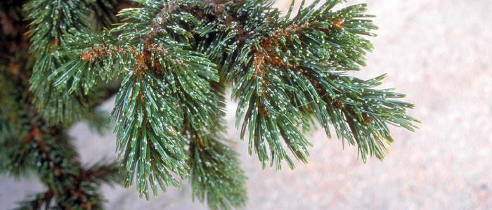 Bristlecone Pine needles with a dusting of snow