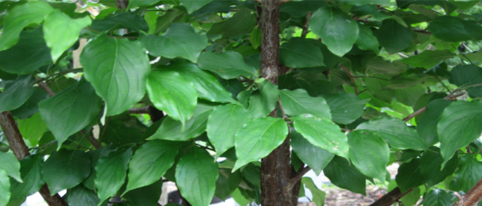 Green leaves of the Japanese Cornel Dogwood
