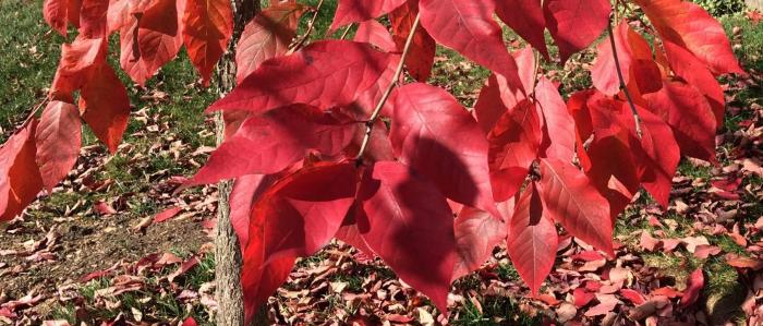 Red leaves of the Black Tupelo 'Green Gable'