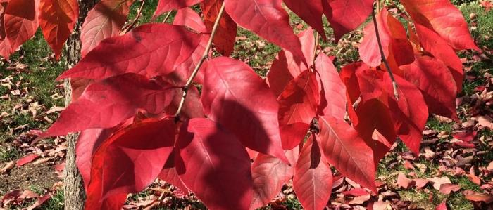 Red leaves of the Black Tupelo 'Red Rage'