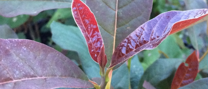 Red, purple, and green leaves of the Black Tupelo 'Wildfire' tree