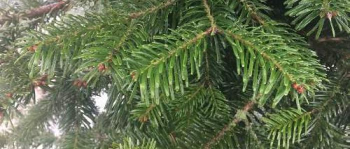 Silvery-green needles of the Turkish Fir