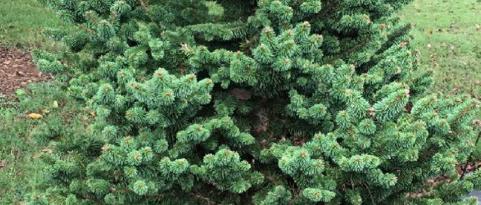 Suncrest Spruce tree