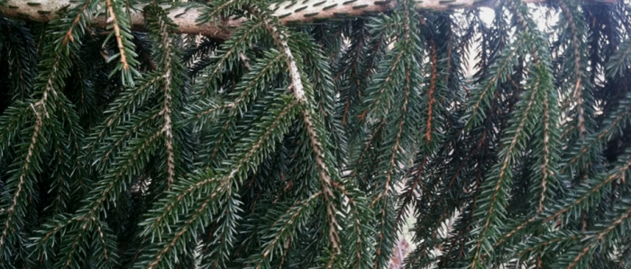 Long needles of the Oriental Spruce