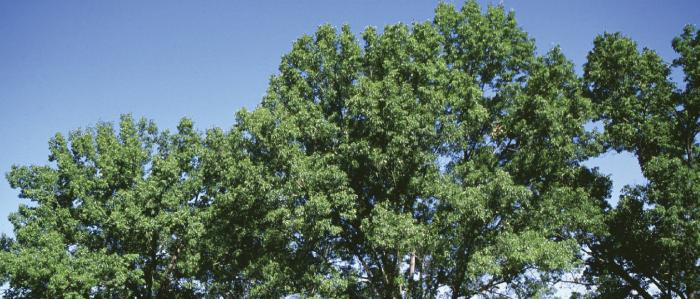 Oak (Swamp White)
