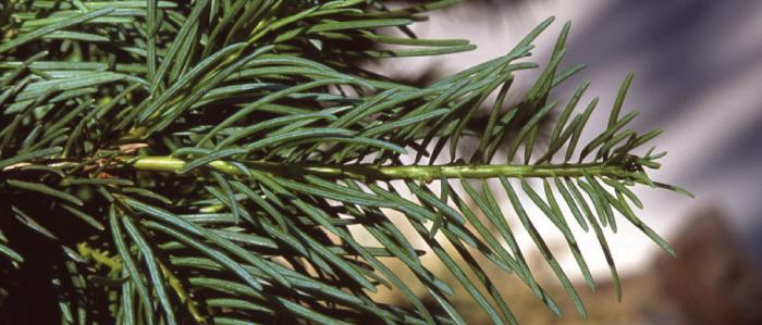 Needles of a White Fir