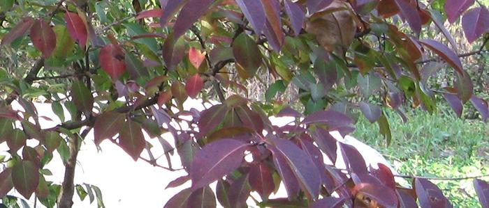 Branches and leaves of the Blackhaw Viburnum
