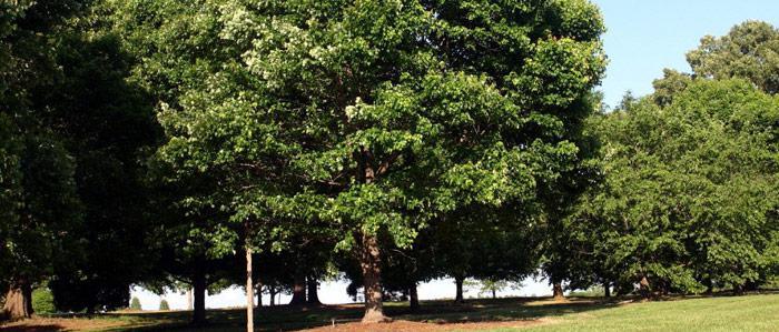 Red Maple tree (Sun Valley)