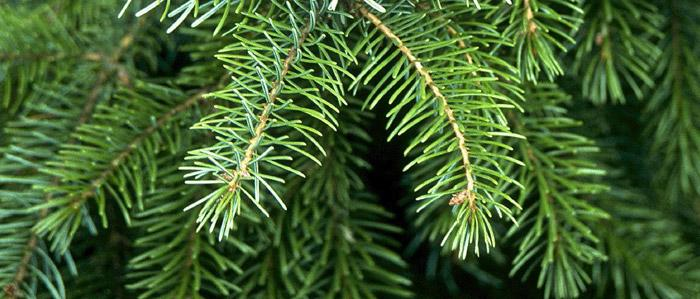 Needles of the Serbian Spruce